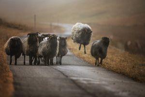 nature road jumping photography horns animals sheep