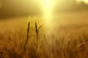 nature spikelets wheat depth of field plants field yellow sunlight