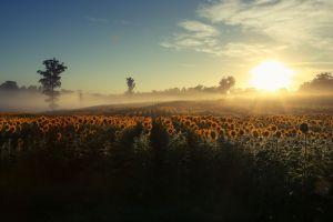 nature sunlight landscape sunflowers field