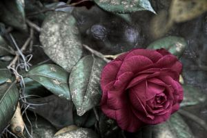 nature surreal rose flowers abstract