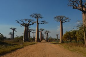 nature trees madagascar baobab trees