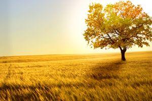 nature wheat landscape trees field