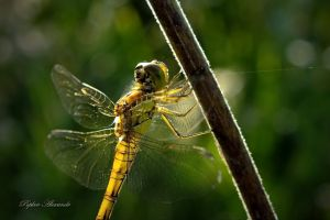 nature wildlife animals insect dragonflies
