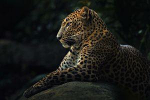 nature wildlife animals jaguars