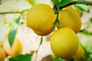 orange (fruit) yellow nature fruit lemons water drops