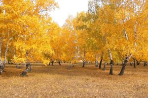 orange landscape birch trees yellow