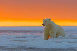 orange sky mammals polar bears animals ice