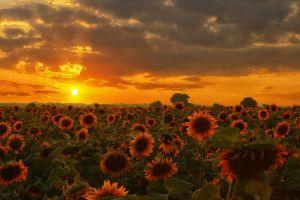 orange sky sunset summer field flowers sunflowers