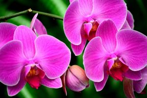 orchids pink flowers flowers