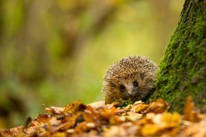 outdoors hedgehog animals