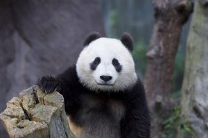 panda bears animals
