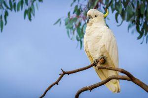 parrot cockatoo birds sulphur-crested cockatoo animals