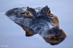 photography alligators animals