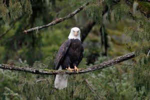 photography animals bald eagle nature