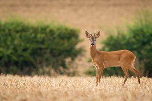 photography animals deer