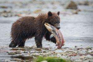 photography animals nature salmon bears