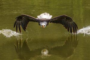 photography bald eagle eagle birds animals nature