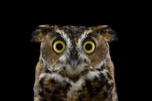 photography birds simple background animals nature owl
