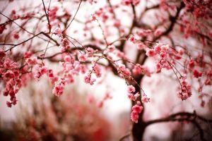 photography cherry blossom macro trees
