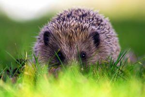 photography hedgehog grass animals
