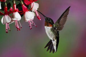 photography hummingbirds flowers birds