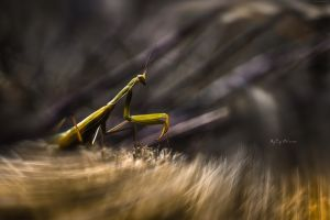 photography insect animals mantis