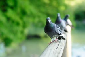 photography pigeons animals birds