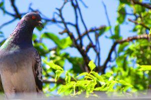 pigeons animals birds plants