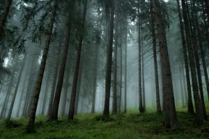 pine trees forest trees grass landscape nature mist