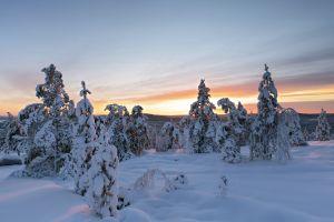 pine trees snow landscape