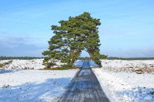 pine trees snow road sky landscape trees