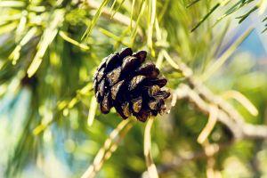 pine trees trees plants