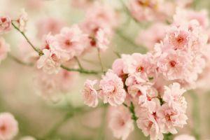 pink flowers flowers plants