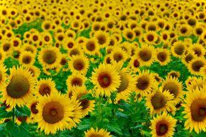 plants agro (plants) flowers sunflowers field