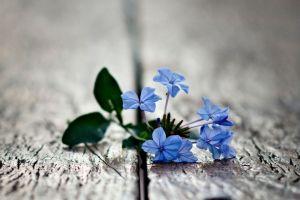 plants blue flowers flowers