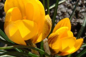 plants closeup tulips