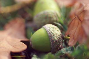 plants fall acorns macro leaves
