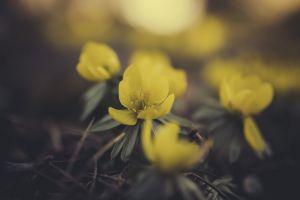 plants flowers macro yellow flowers