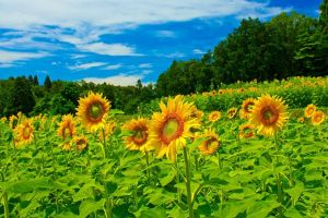 plants flowers yellow flowers sunflowers agro (plants)