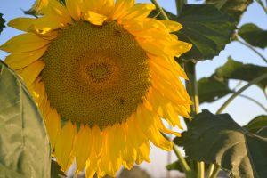 plants flowers yellow flowers sunflowers