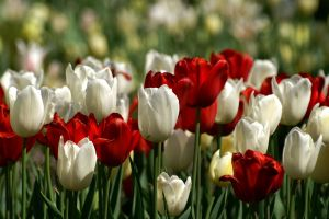 plants red flowers white flowers flowers tulips
