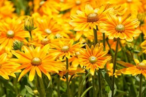 plants yellow flowers flowers nature