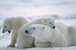 polar bears baby animals snow animals