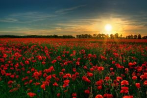 poppies field red flowers sunset flowers