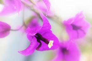 purple flowers bougainvillea flowers