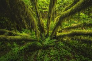 rainforest green deep forest washington state nature forest landscape ferns trees moss olympic national park