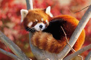 red animals red panda nature