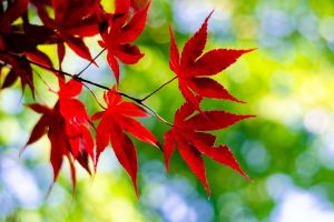 red maple leaves leaves outdoors plants twigs