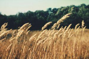 reeds summer nature field plants