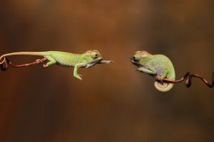reptiles branch animals chameleons